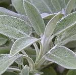 La salvia officinalis