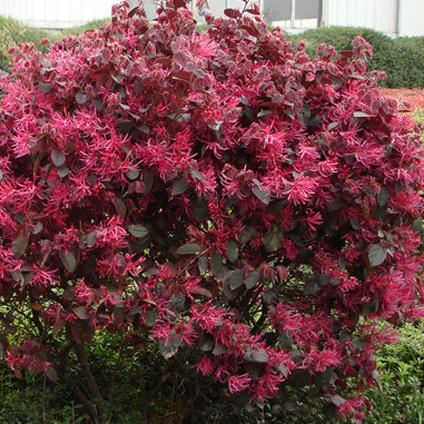 loropetalum_black_pearl