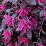 Loropetalum Black Pearl