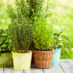 Plantes antimosquits