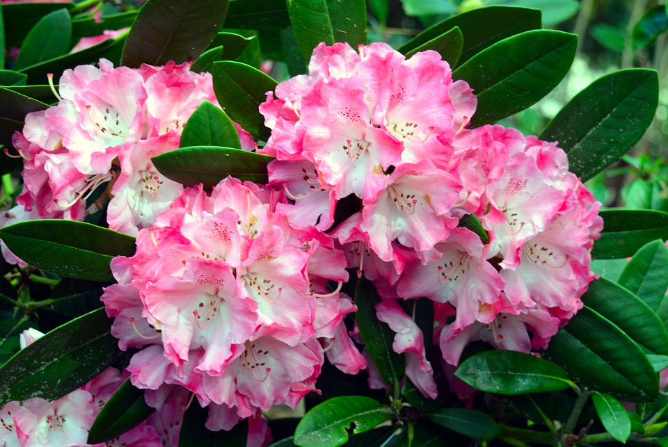 rhododendron-4275156_960_720